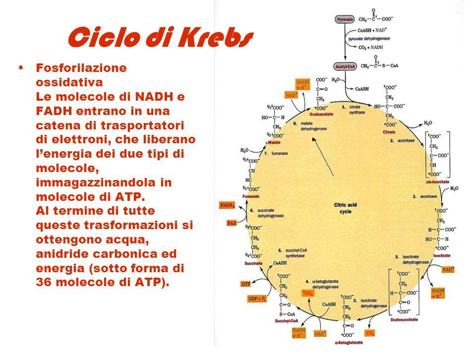 Ciclo di Krebs Fosforilazione ossidativa Le molecole di NADH e FADH entrano in una catena di trasportatori di elettroni, che liberano l'energia dei du