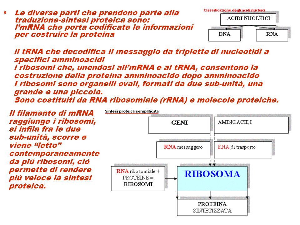 Le diverse parti che prendono parte alla traduzione-sintesi proteica sono: l'mRNA che porta codificate le informazioni per costruire la proteina il tR