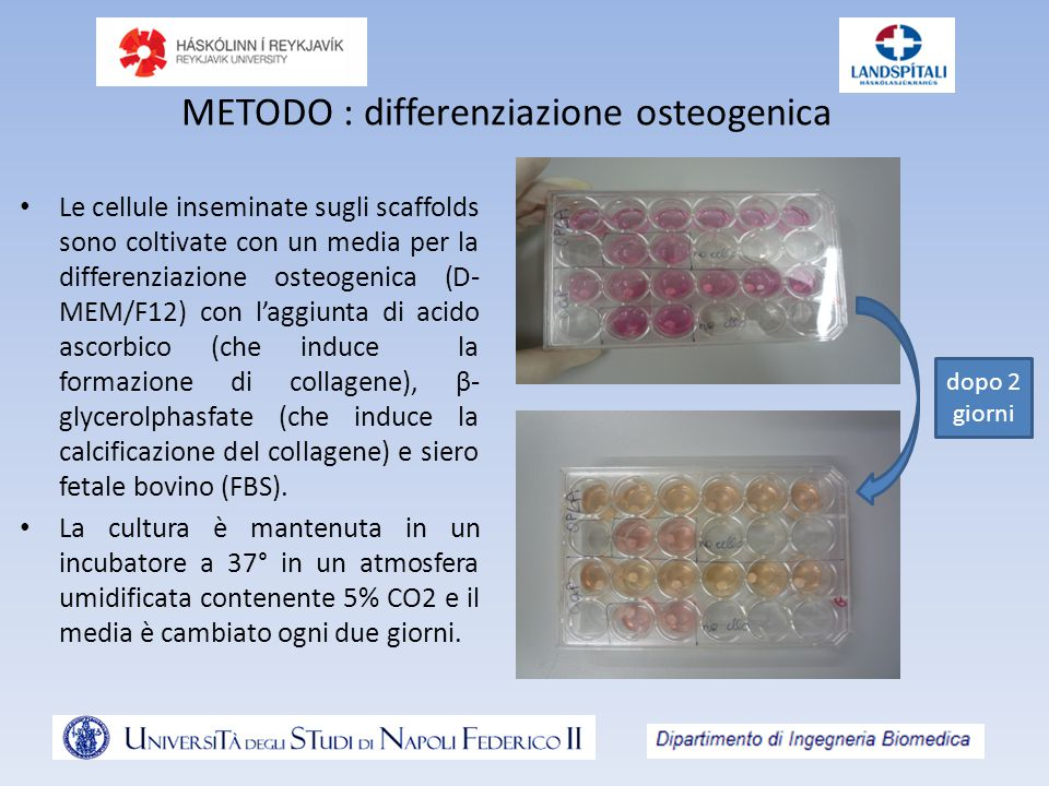 METODO : differenziazione osteogenica Le cellule inseminate sugli scaffolds sono coltivate con un media per la differenziazione osteogenica (D- MEM/F1