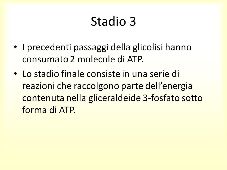 Stadio 3 I precedenti passaggi della glicolisi hanno consumato 2 molecole di ATP. Lo stadio finale consiste in una serie di reazioni che raccolgono pa