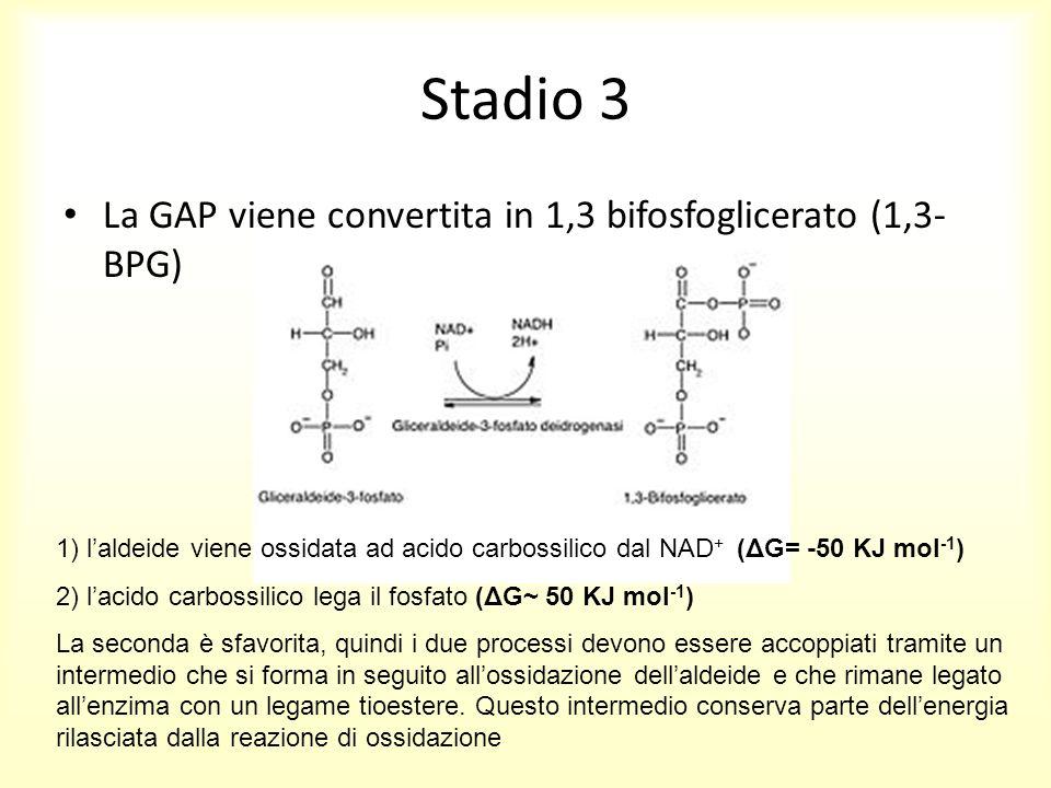 Stadio 3 La GAP viene convertita in 1,3 bifosfoglicerato (1,3- BPG) 1) l'aldeide viene ossidata ad acido carbossilico dal NAD + (ΔG= -50 KJ mol -1 ) 2