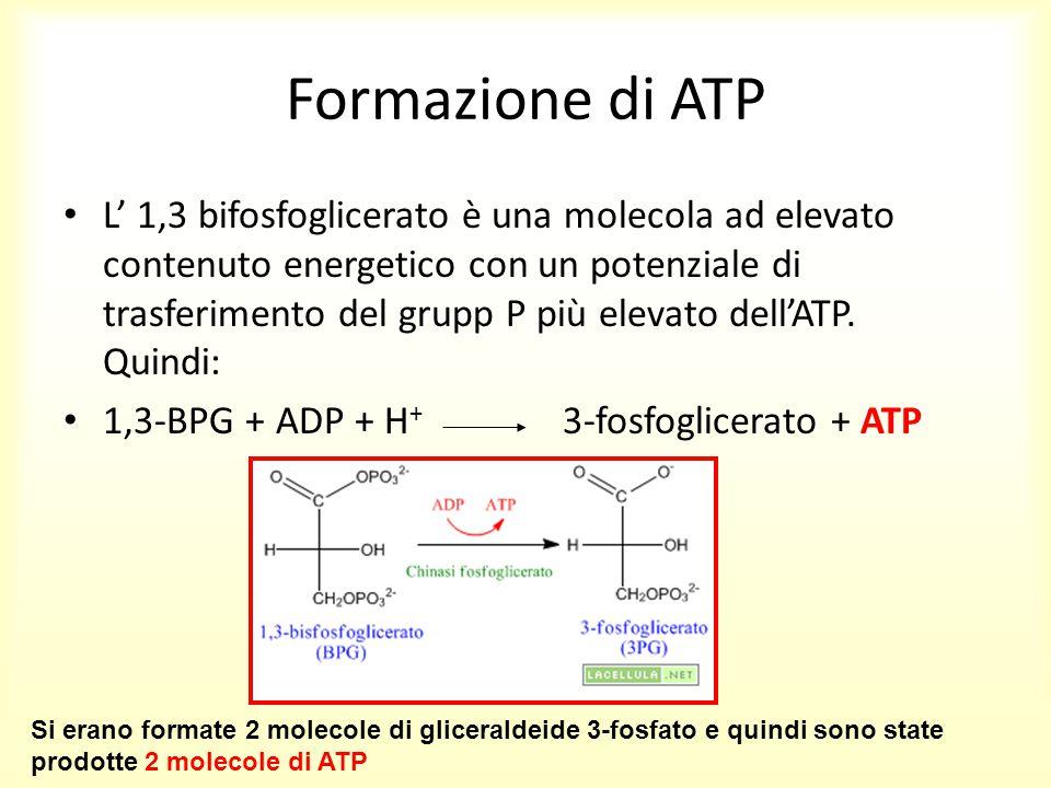 Formazione di ATP L' 1,3 bifosfoglicerato è una molecola ad elevato contenuto energetico con un potenziale di trasferimento del grupp P più elevato de