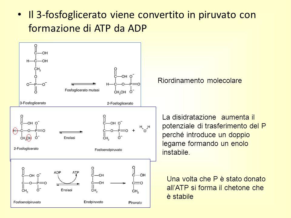 Il 3-fosfoglicerato viene convertito in piruvato con formazione di ATP da ADP Riordinamento molecolare La disidratazione aumenta il potenziale di tras
