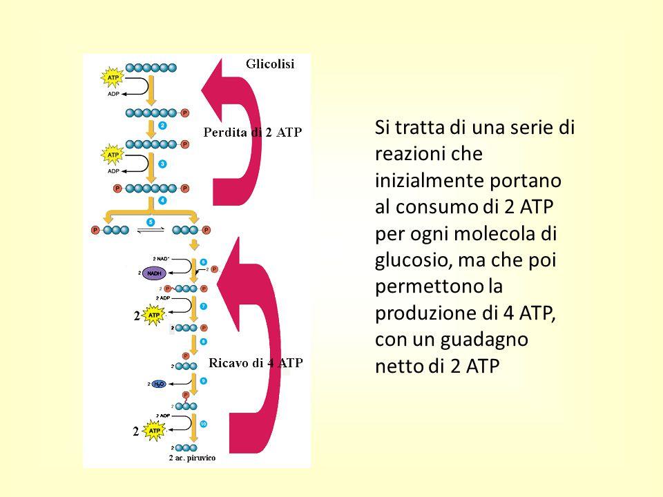 Si tratta di una serie di reazioni che inizialmente portano al consumo di 2 ATP per ogni molecola di glucosio, ma che poi permettono la produzione di