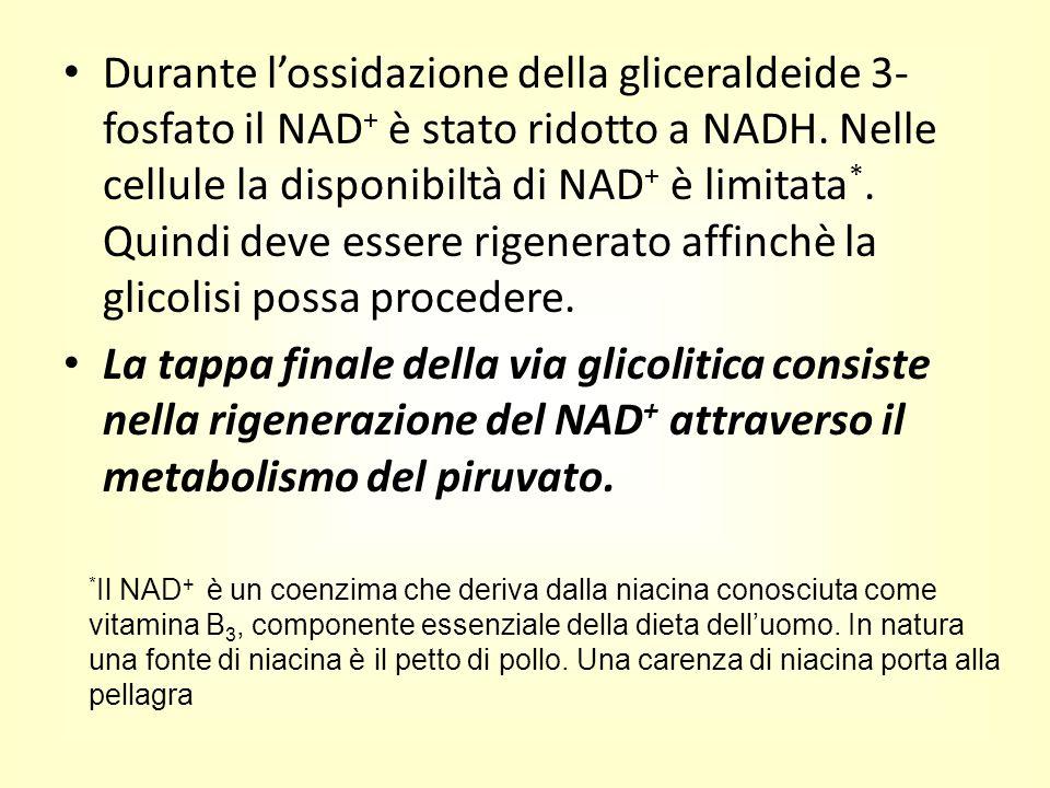 Durante l'ossidazione della gliceraldeide 3- fosfato il NAD + è stato ridotto a NADH. Nelle cellule la disponibiltà di NAD + è limitata *. Quindi deve