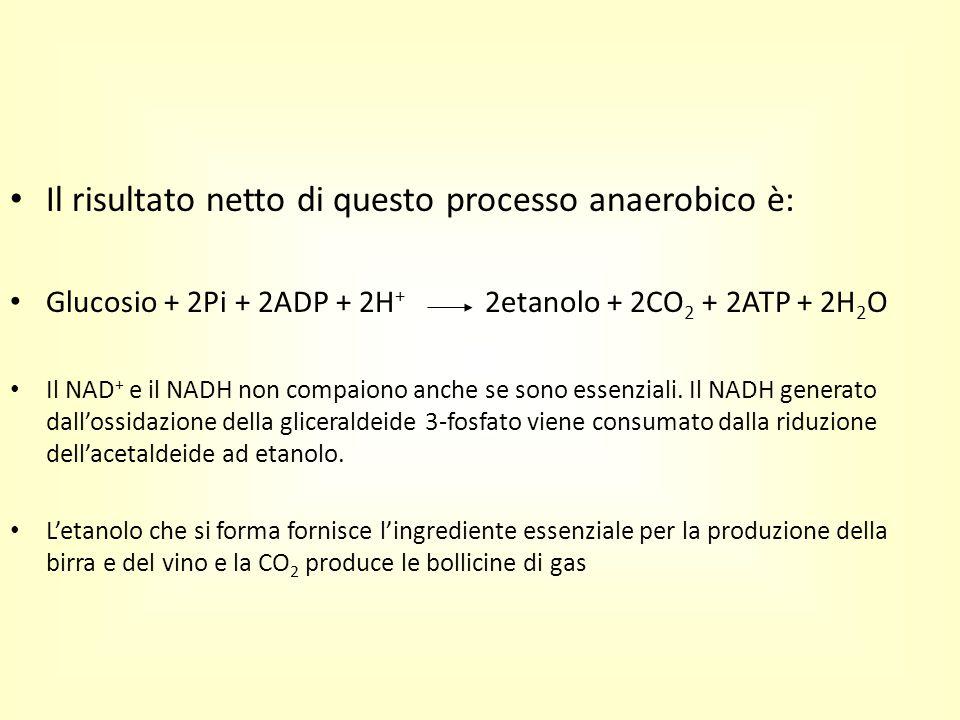 Il risultato netto di questo processo anaerobico è: Glucosio + 2Pi + 2ADP + 2H + 2etanolo + 2CO 2 + 2ATP + 2H 2 O Il NAD + e il NADH non compaiono anc