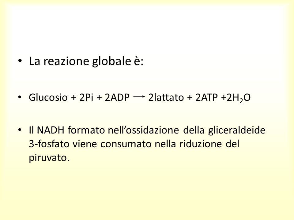 La reazione globale è: Glucosio + 2Pi + 2ADP 2lattato + 2ATP +2H 2 O Il NADH formato nell'ossidazione della gliceraldeide 3-fosfato viene consumato ne
