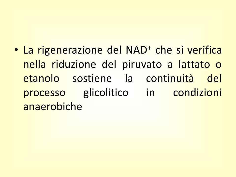 La rigenerazione del NAD + che si verifica nella riduzione del piruvato a lattato o etanolo sostiene la continuità del processo glicolitico in condizi