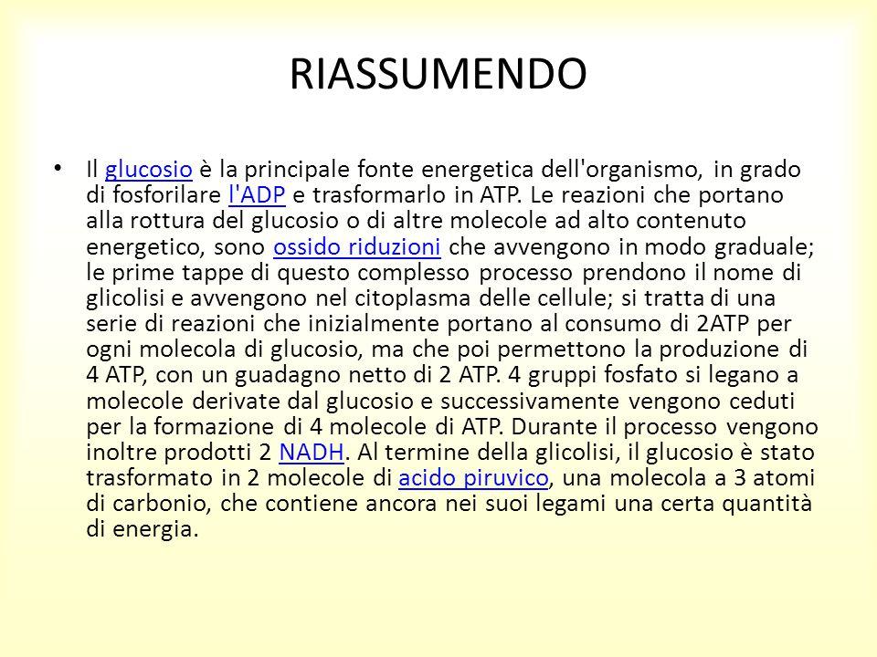 RIASSUMENDO Il glucosio è la principale fonte energetica dell'organismo, in grado di fosforilare l'ADP e trasformarlo in ATP. Le reazioni che portano