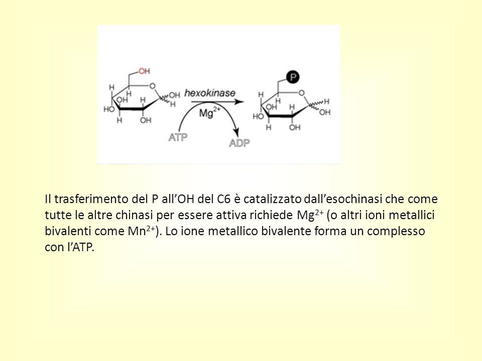 Il trasferimento del P all'OH del C6 è catalizzato dall'esochinasi che come tutte le altre chinasi per essere attiva richiede Mg 2+ (o altri ioni meta