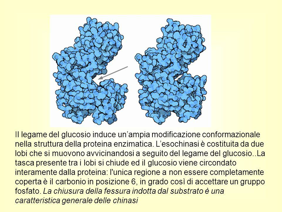 Il legame del glucosio induce un'ampia modificazione conformazionale nella struttura della proteina enzimatica. L'esochinasi è costituita da due lobi