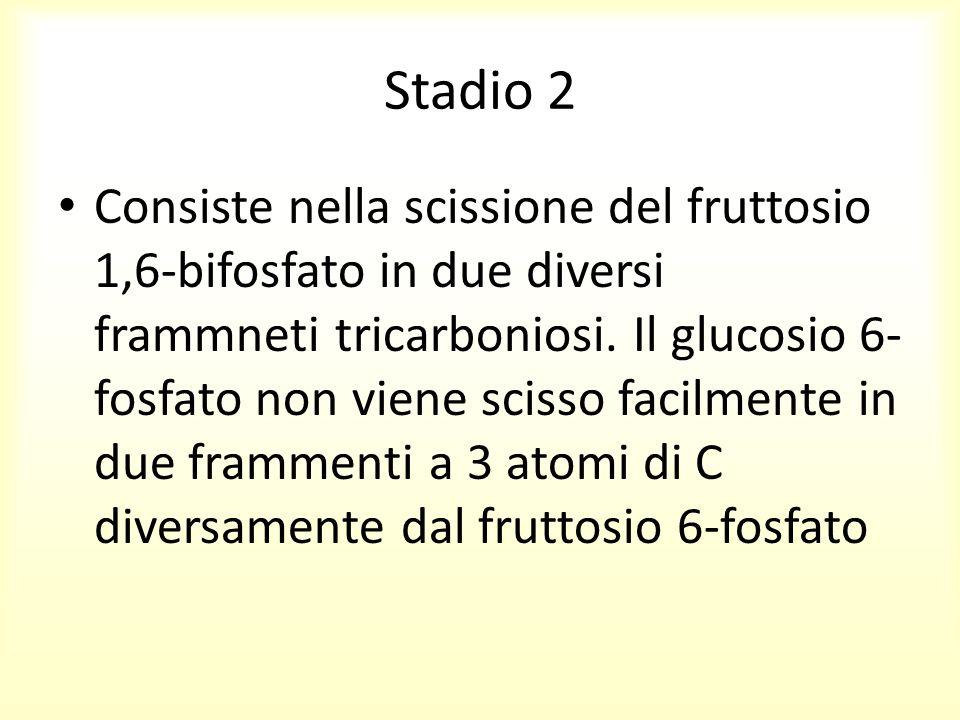 Stadio 2 Consiste nella scissione del fruttosio 1,6-bifosfato in due diversi frammneti tricarboniosi. Il glucosio 6- fosfato non viene scisso facilmen