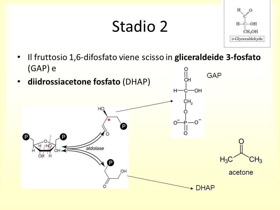 Stadio 2 Il fruttosio 1,6-difosfato viene scisso in gliceraldeide 3-fosfato (GAP) e diidrossiacetone fosfato (DHAP) GAP DHAP acetone