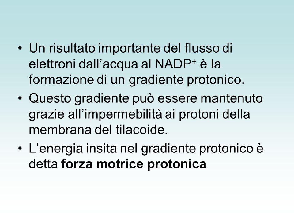 Produzione dei protoni (H+)