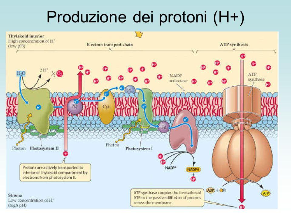 L'assunzione del protone nel processo di riduzione rende lo stroma più basico rispetto al lume dei tilacoidi favorendo la formazione della forza motrice protonica
