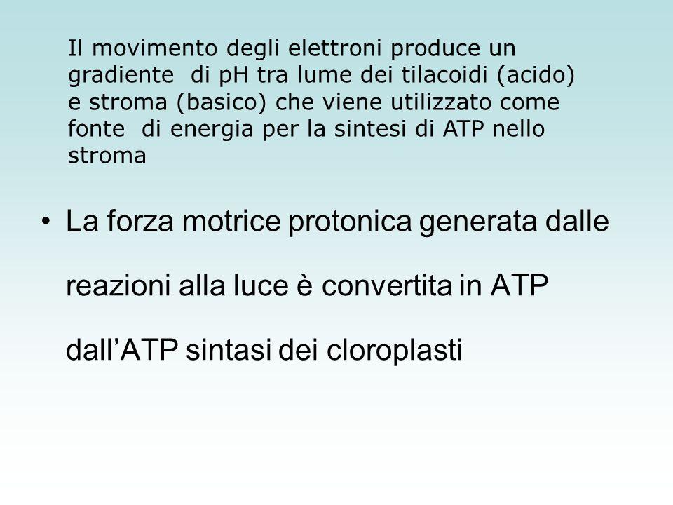 NADPH e ATP, i prodotti delle reazioni alla luce della fotosintesi, sono entrambi rilasciati nello stroma, in modo da essere utilizzati nelle successive reazioni che avverranno al buio e che convertiranno la CO 2 in carboidrati