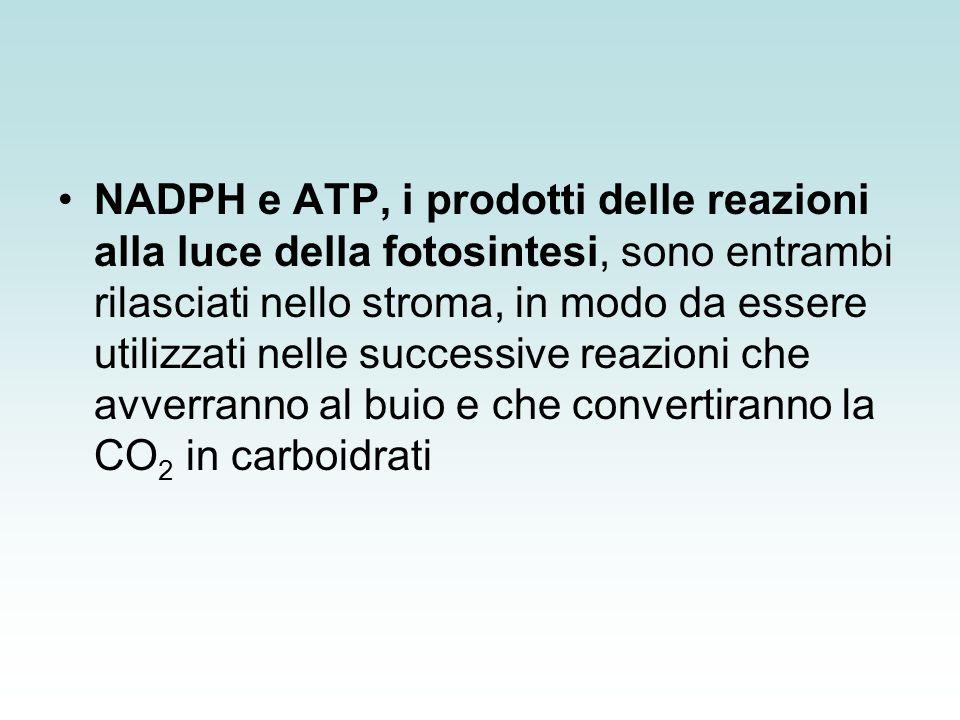 Flusso ciclico di e - : fotofosforilazione ciclica Quando il rapporto NADPH/NADP + è molto alto, può accadere che non vi sia sufficiente NADP + per accettare gli e - provenienti dalla ferredossina ridotta.