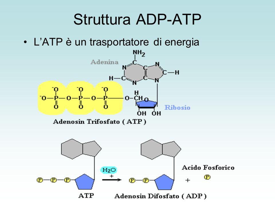 STRUTTURA DELL'ATP SINTASI L'ATP sintasi è una pompa protonica detta anche complesso CF 1 -CF 0.