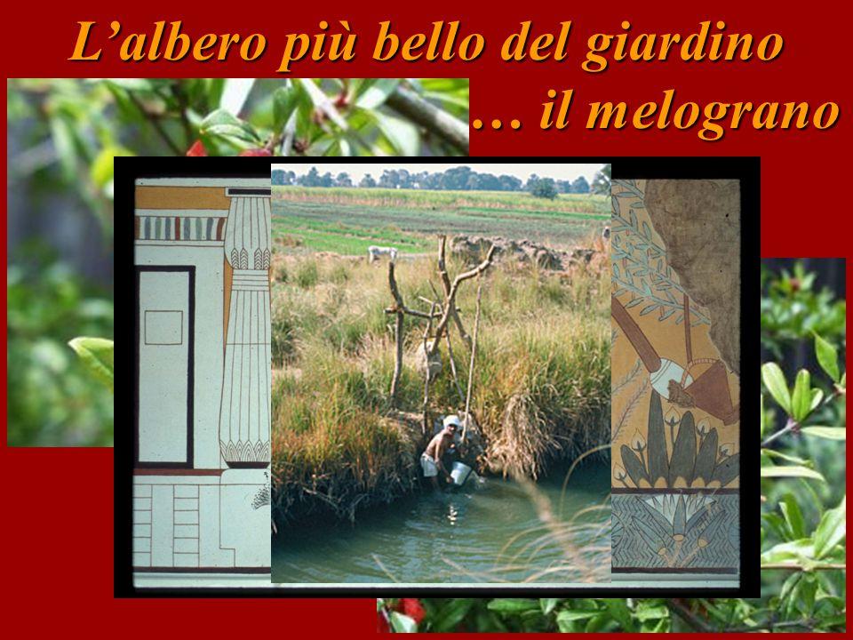 L'albero più bello del giardino … il melograno … il melograno