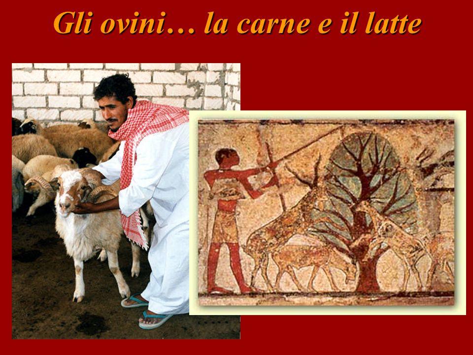 Gli ovini… la carne e il latte