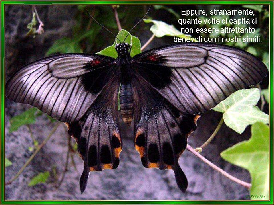Vedendo la bellezza di queste farfalle nessuno ricorda più che in un tempo recente esse erano bruchi costretti a strisciare per terra e che non voleva