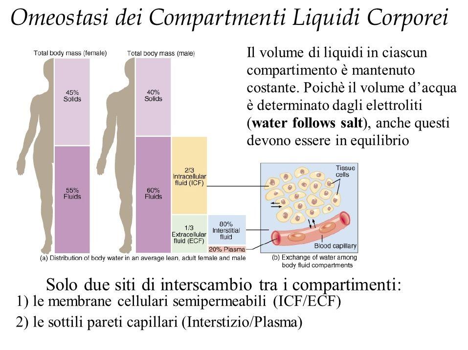 Output (regolato) Rene Principale organo deputato all'omeostasi Filtra circa 180 L di sangue al giorno Produce 1200-1500 cc di urine Apparato tegumentario Regolato dal sistema nervoso simpatico Attiva la secrezione delle ghiandole sudoripare Sensibile o insensibile-500-600 cc/gg Direttamente correlato alla stimolazione delle ghiandole sudoripare Respirazione Insensibile Aumenta con la frequenza ed ampiezza dei respiri & ossigenoterapia Circa 400 cc/gg App.Gastrointestinale Feci Circa 100-200 cc Disordini GI possono aumentare o diminuire questa quota.