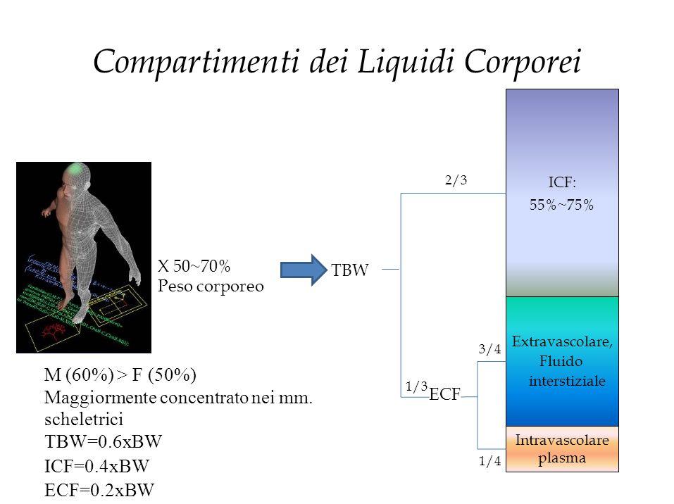Compartimenti dei Liquidi Corporei X 50~70% Peso corporeo TBW ECF 1/4 M (60%) > F (50%) Maggiormente concentrato nei mm. scheletrici TBW=0.6xBW ICF=0.