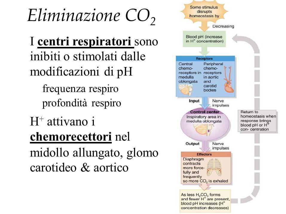Eliminazione CO 2 I centri respiratori sono inibiti o stimolati dalle modificazioni di pH frequenza respiro profondità respiro H + attivano i chemorec