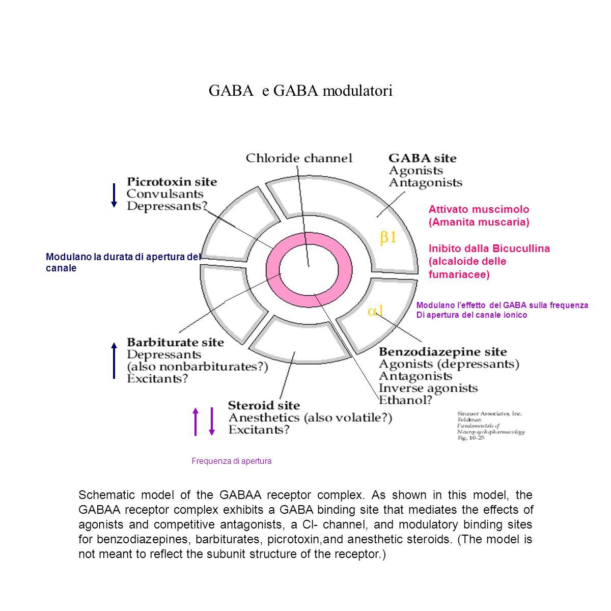 Il recettore GABA B è accoppiato ad una proteina G sensibile alla tossina della pertosse: Go-Gi Controlla i canali del K, la cui apertura si associa a potenziali inibitori della trasmissione sinaptica e blocca le correnti del calcio in certi neuroni ( cellule gangliari delle radici dorsali) In alcune regioni del SNC colocalizza con il recettore GABA A Interazione GABA A/GABA B Il GABA A >> postsinaptico Il GABA B >> presinaptico richiede dosi più elevate di GABA per essere attivato ** A basse concentrazioni di GABA viene attivato il GABA-A receptor aumento della conduttanza al Cl - potenziale inibitorio postsinaptico rapido ** quando sono attivati numerosi interneuroni inibitori elevata concentrazione di GABA stimolazione dei recettori GABA B aumento conduttanza per il K potenziale inibitorio postisnaptico lento Sinergia a livello dell'utero : motilita GABA A: inibisce la contrazione mentre GABA B la attiva.