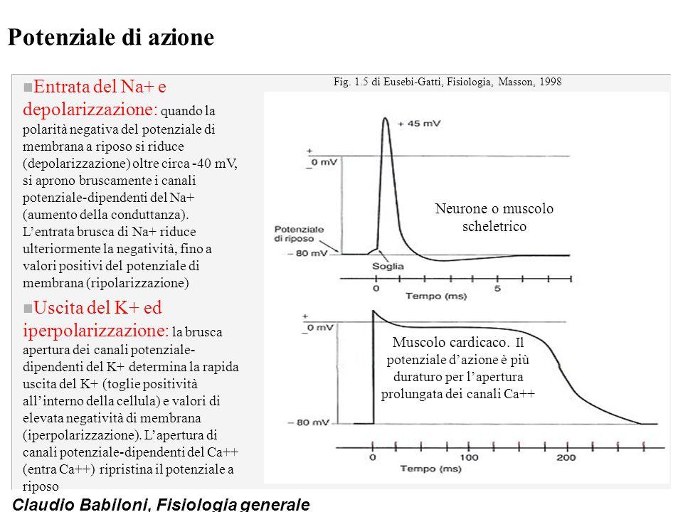Claudio Babiloni, Fisiologia generale Potenziale di azione n Entrata del Na+ e depolarizzazione: quando la polarità negativa del potenziale di membran