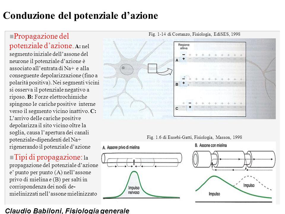 Claudio Babiloni, Fisiologia generale Conduzione del potenziale d'azione n Propagazione del potenziale d'azione. A: nel segmento iniziale dell'assone