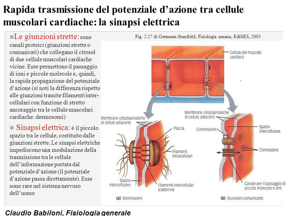 Claudio Babiloni, Fisiologia generale Rapida trasmissione del potenziale d'azione tra cellule muscolari cardiache: la sinapsi elettrica n Le giunzioni