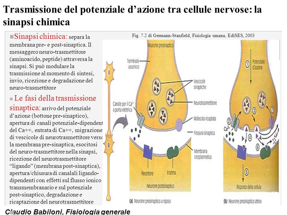 Claudio Babiloni, Fisiologia generale Trasmissione del potenziale d'azione tra cellule nervose: la sinapsi chimica n Sinapsi chimica: separa la membra
