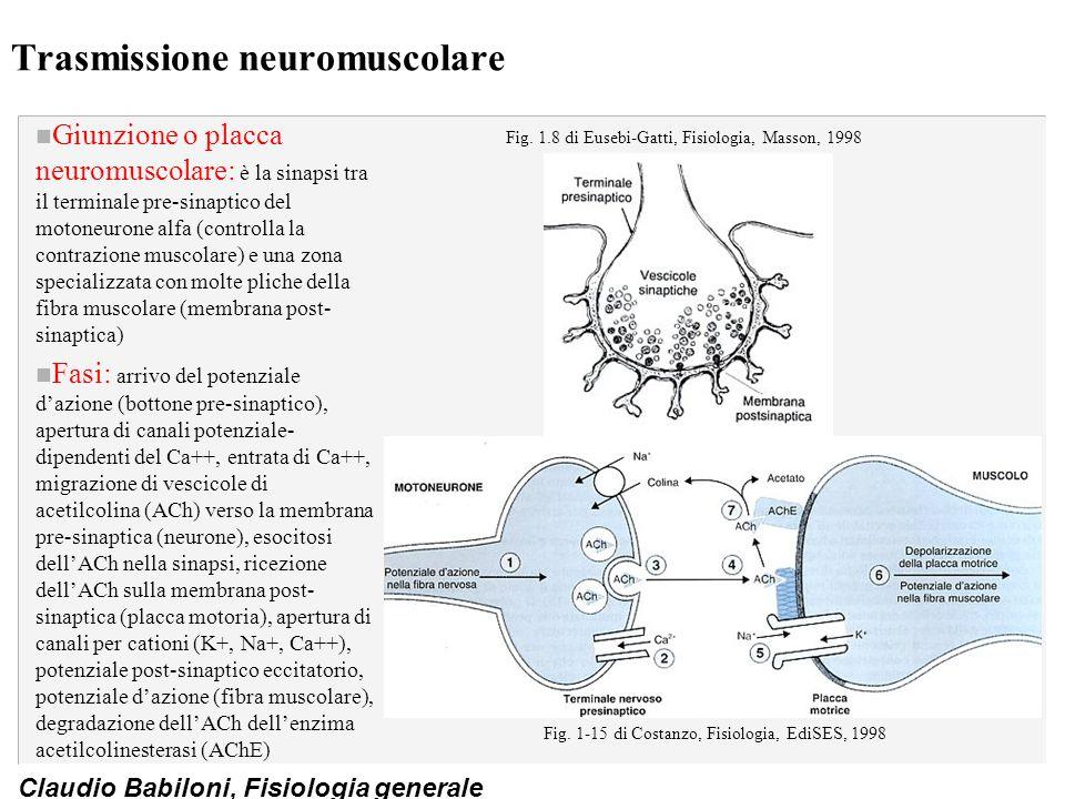 Claudio Babiloni, Fisiologia generale Trasmissione neuromuscolare n Giunzione o placca neuromuscolare: è la sinapsi tra il terminale pre-sinaptico del
