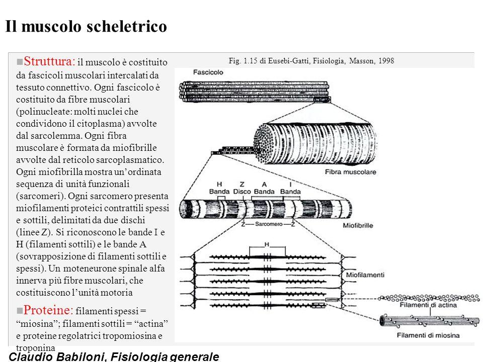 Claudio Babiloni, Fisiologia generale Il muscolo scheletrico n Struttura: il muscolo è costituito da fascicoli muscolari intercalati da tessuto connet