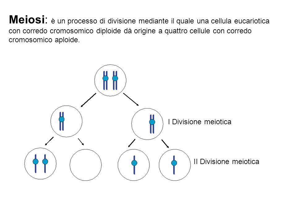 Meiosi: è un processo di divisione mediante il quale una cellula eucariotica con corredo cromosomico diploide dà origine a quattro cellule con corredo