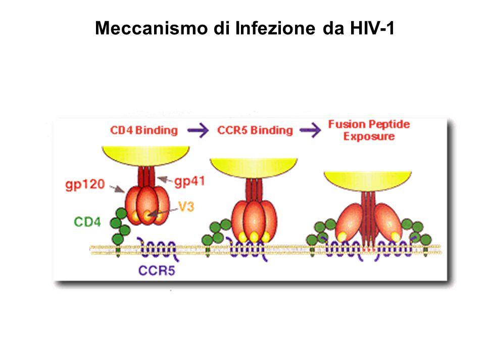 Il Recettore CCR5 (CD195) Localizzato sul cromosoma 3 Recettore per le chemiochine RANTES, Mp1alfa e Mip1 beta Espresso su linfociti T, Macrofagi, cellule dendritiche e microgliali Esiste una mutazione  32 (32 nucleotidi) che produce una proteina non capace di raggiungere la superficie cellulare L'allele  32 è comune nella popolazione Caucasica (frequeunza 10%) ma quasi assente in Africa e Asia I portatori Omozigoti di questa mutazione non hanno CCR5 sulla superficie cellulare Sono resistenti all'infezione da HIV-1 (R5) Hanno un fenotipo normale