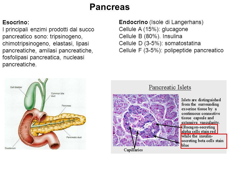 Carboidrati alimentari Glucosio Fruttosio Galattosio SangueIntestinoFegato Glucosio Glicogeno di riserva Lattato Amminoacidi Glicerolo Deposito di trigliceridi Glicogenolisi Neoglicogenesi Glicogeno di riserva Glucosio Cellule dei vari tessuti OMEOSTASI GLUCIDICA