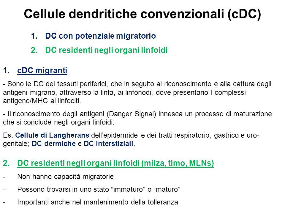 Cellule dendritiche convenzionali (cDC) 1.DC con potenziale migratorio 2.DC residenti negli organi linfoidi 1.cDC migranti - Sono le DC dei tessuti periferici, che in seguito al riconoscimento e alla cattura degli antigeni migrano, attraverso la linfa, ai linfonodi, dove presentano I complessi antigene/MHC ai linfociti.