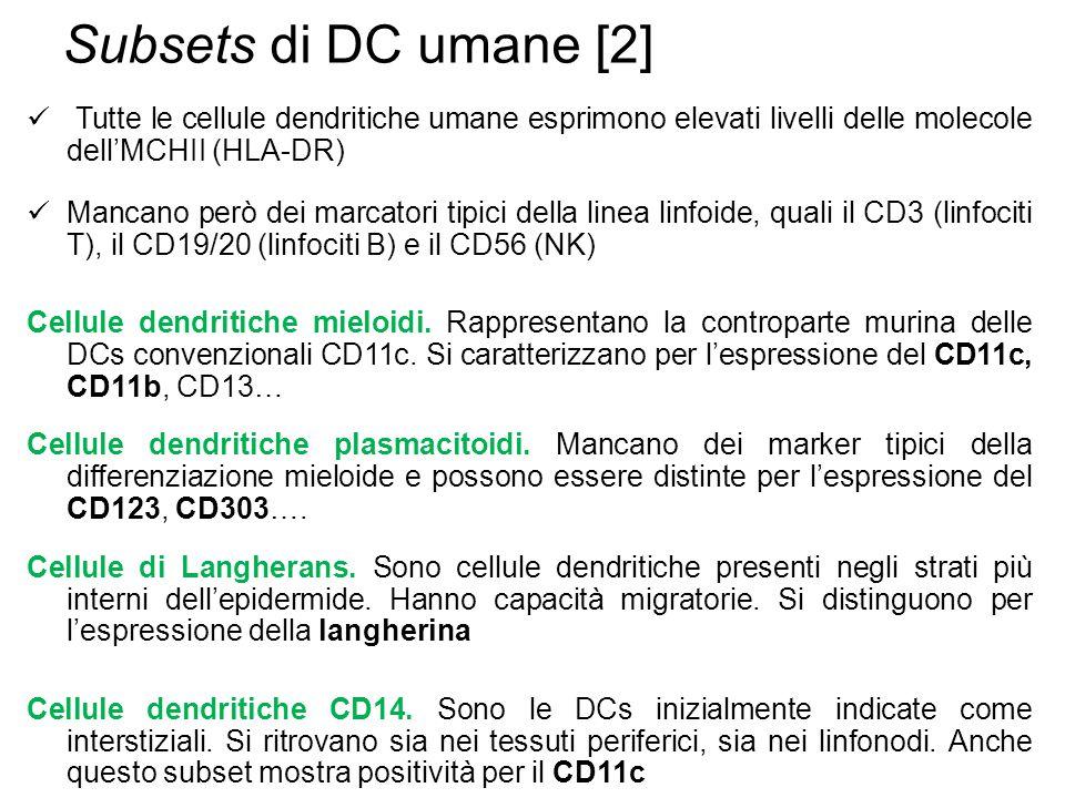 Subsets di DC umane [2] Tutte le cellule dendritiche umane esprimono elevati livelli delle molecole dell'MCHII (HLA-DR) Mancano però dei marcatori tipici della linea linfoide, quali il CD3 (linfociti T), il CD19/20 (linfociti B) e il CD56 (NK) Cellule dendritiche mieloidi.