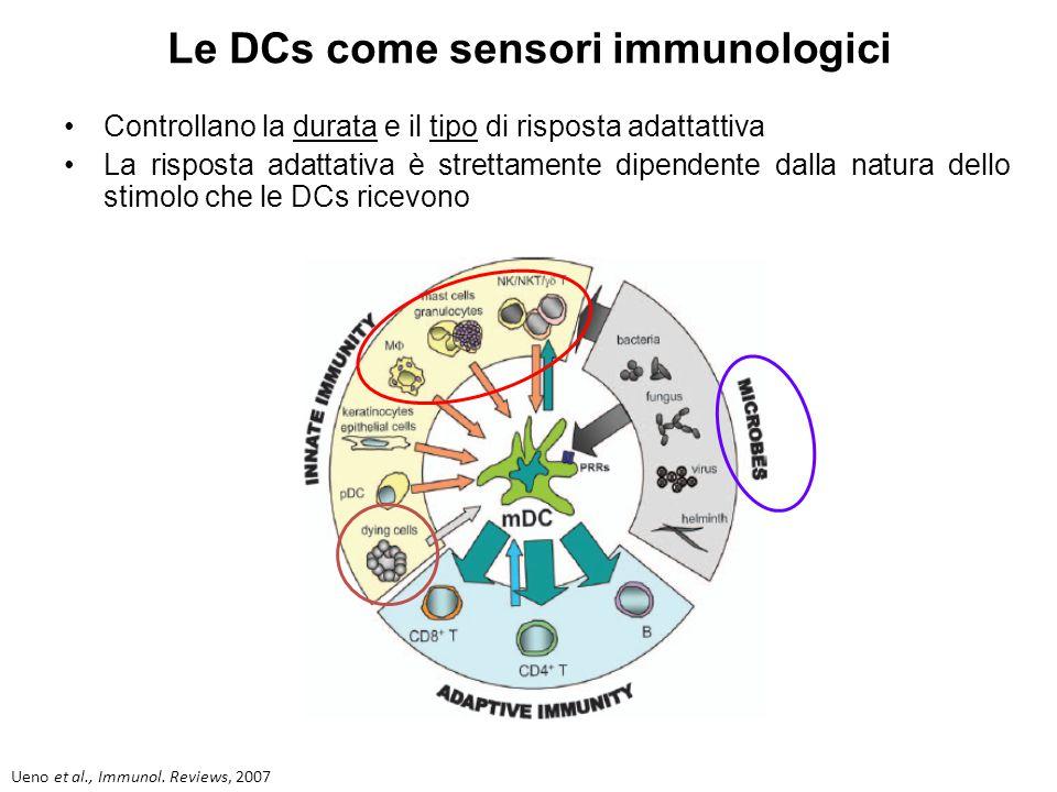 L'equipaggiamento delle DCs - Recettori Fc (FcR) - Mac-1 (CD11-b/CD18, integrina aMb2): recettore del complemento CR3 utilizzato per l'uptake di batteri rivestiti con le opsonine - CD14 - recettori per il mannosio appartenenti alla famiglia delle lectine (C-type lectin receptors): impegnati nell'internalizzazione e nella presentazione di proteine mannosilate - TLRs - Nods Rescigno et al., Immunology & Cell Biology,1999