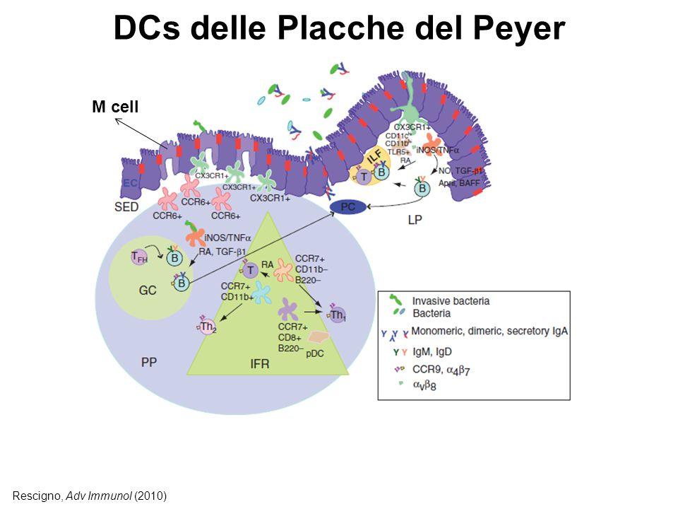 DCs delle Placche del Peyer Rescigno, Adv Immunol (2010) M cell