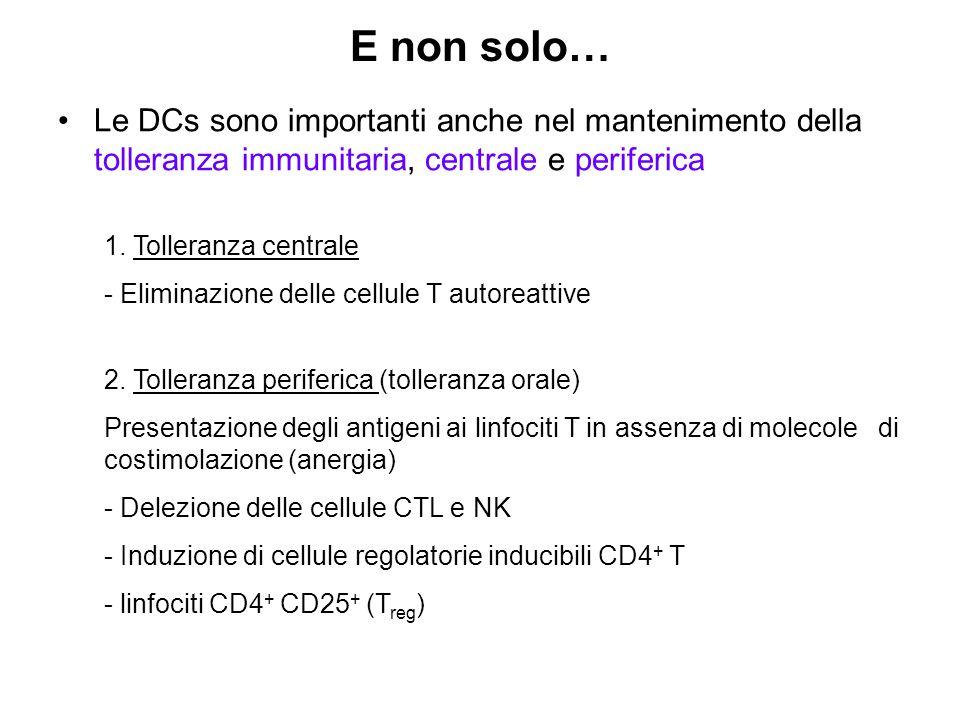 E non solo… Le DCs sono importanti anche nel mantenimento della tolleranza immunitaria, centrale e periferica 1.