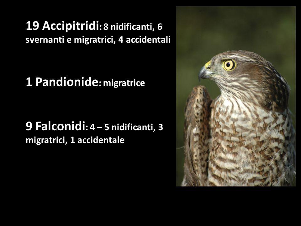 19 Accipitridi : 8 nidificanti, 6 svernanti e migratrici, 4 accidentali 1 Pandionide : migratrice 9 Falconidi : 4 – 5 nidificanti, 3 migratrici, 1 acc