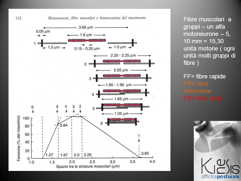 Fibre muscolari a gruppi – un alfa motoneurone – 5, 10 mm = 15,30 unità motorie ( ogni unità molti gruppi di fibre ) FF= fibre rapide FR= fibre intermedie FS= fibre lente