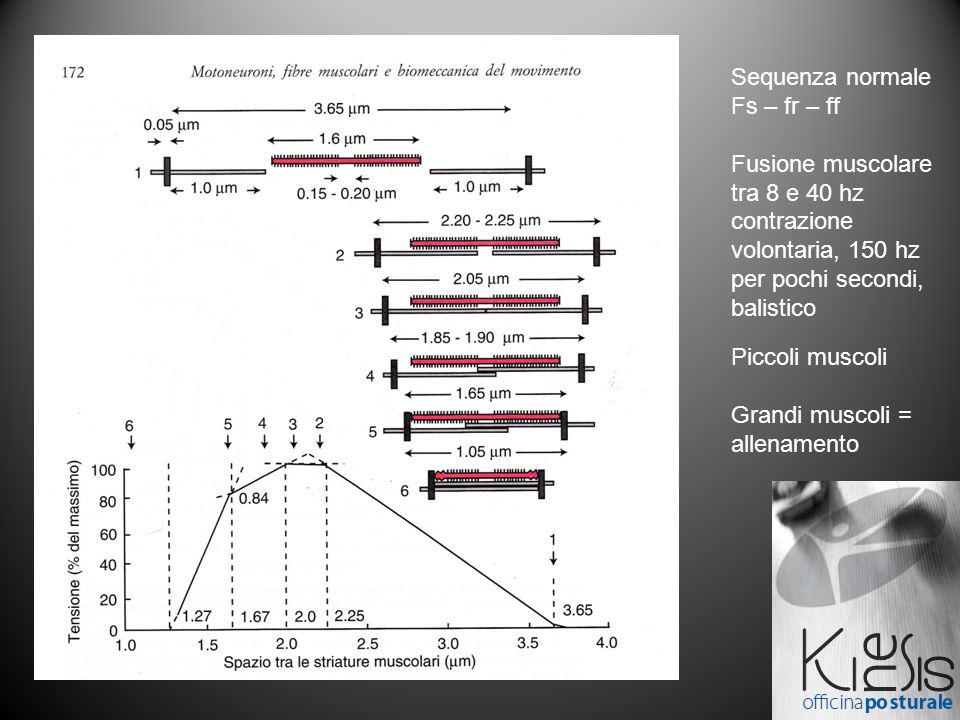 Sequenza normale Fs – fr – ff Fusione muscolare tra 8 e 40 hz contrazione volontaria, 150 hz per pochi secondi, balistico Piccoli muscoli Grandi muscoli = allenamento