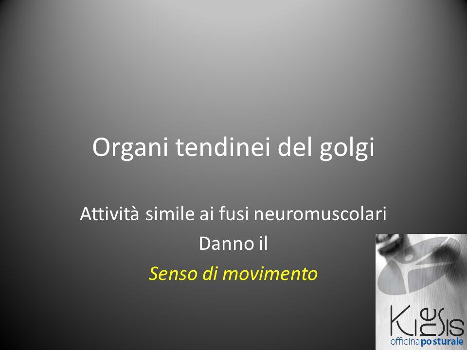 Organi tendinei del golgi Attività simile ai fusi neuromuscolari Danno il Senso di movimento