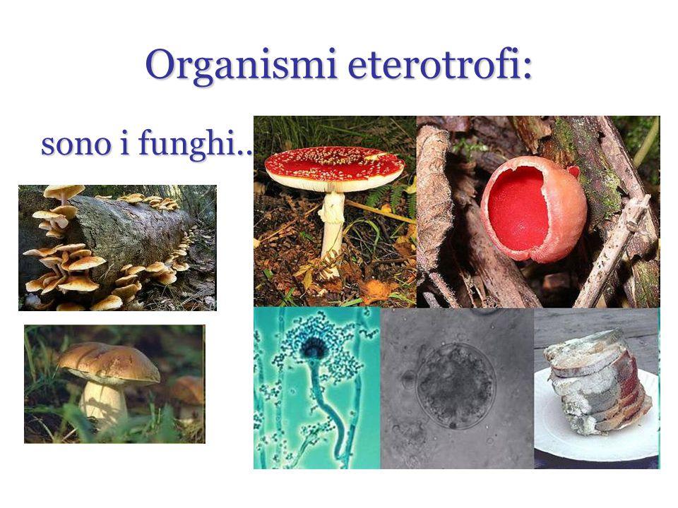 Organismi eterotrofi: sono i funghi...
