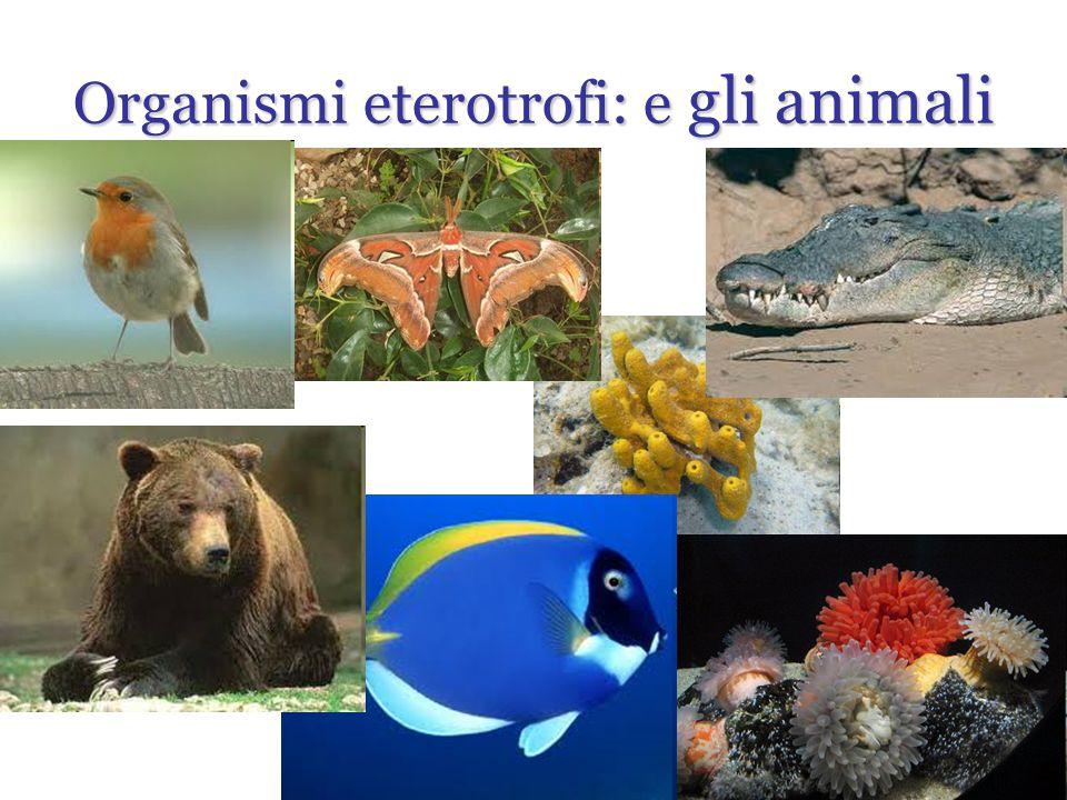 Organismi eterotrofi: e gli animali