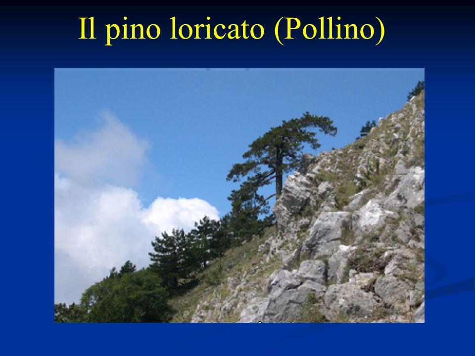Il pino loricato (Pollino)